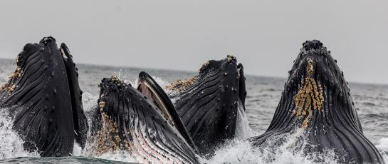 whales feeding at the surface of the sea