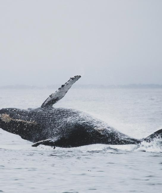 Gray whale breaching in the sea